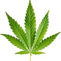 Small x2 635961444810294824 marijuana